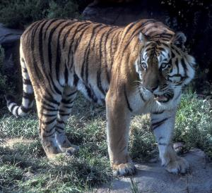 2000 Tigers Possible In Thailand, Study Says [ScienceDaily 2007-12-20]; Image ONLY