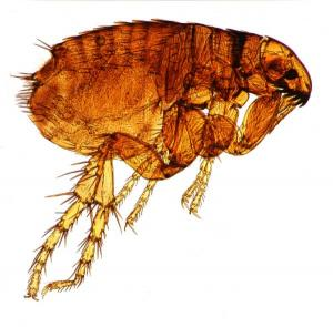Cat Fleas' Journey Into The Vacuum Is A 'One-way Trip' [ScienceDaily 2007-12-22]; Image ONLY