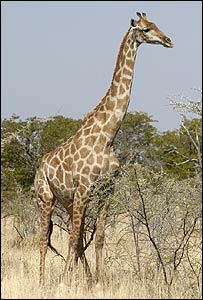 Not one but 'six giraffe species' [BBC 2007-12-21]; Image ONLY