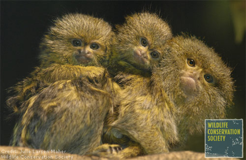 Piggy-Back Ride - Pygmy Marmosets [LiveScience 2007-12-26]; Image ONLY