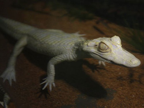 Albino Alligator Abduction [LiveScience 2008-01-07]; Image ONLY