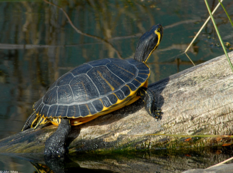 Turtles yellow bellied slider trachemys scripta scripta for Trachemys scripta