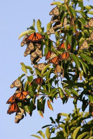 Molecular Basis Of Monarch Butterfly Migration Discovered [ScienceDaily 2008-01-08]; Image ONLY