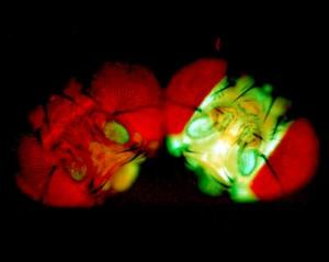 Fruit Flies All Aglow Light The Way To Cancer Prevention [ScienceDaily 2008-01-15]; Image ONLY