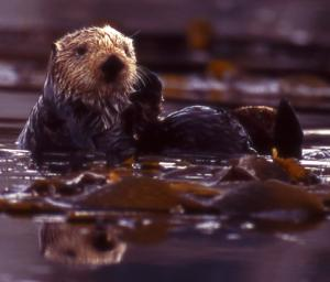Sea Otter Show Striking Variability In Diets And Feeding Strategies [ScienceDaily 2008-01-18]; Image ONLY