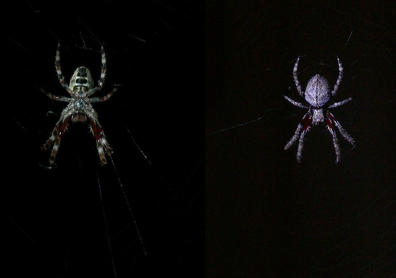 Spider (Orb Weaver); DISPLAY FULL IMAGE.