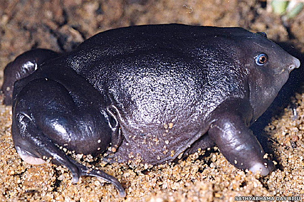 10 most endangered amphibians - Purple Frog (Nasikabatrachus sahyadrensis) [BBC 2008-01-21]; Image ONLY