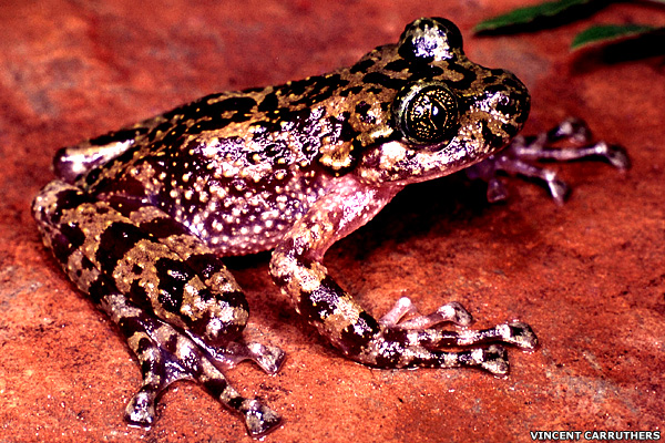 10 most endangered amphibians - Rose's Ghost Frog (Heleophryne rosei) [BBC 2008-01-21]; Image ONLY