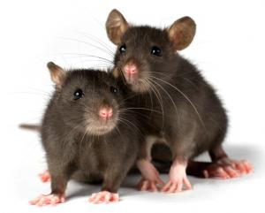 Year Of The Rat: Furry Creatures Are Misunderstood, Vet Says [ScienceDaily 2008-01-25]; Image ONLY