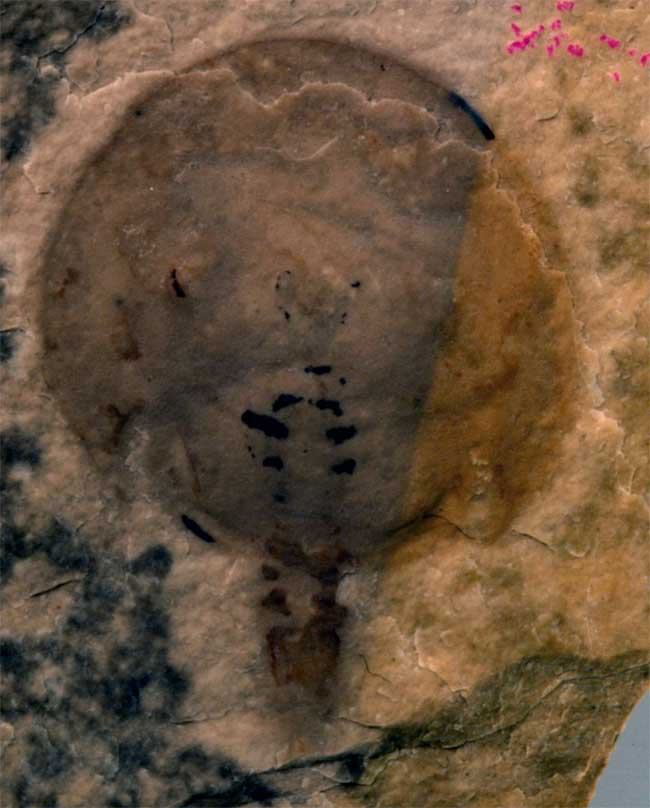 Oldest Horseshoe Crab Fossil Discovered [LiveScience 2008-01-28]; Image ONLY