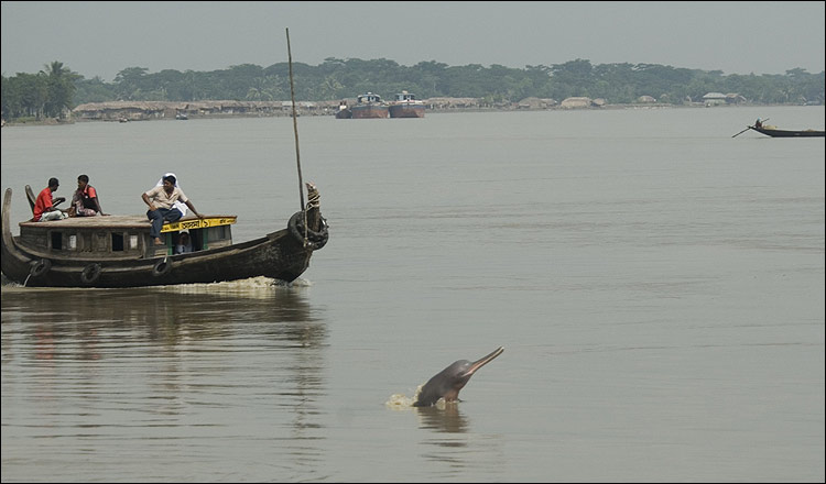Bangladesh's majestic dolphins at risk [BBC 2008-01-28]; Image ONLY