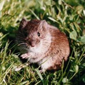 Lusty Voles, Mindless Of Danger, Mate Like Rabbits [ScienceDaily 2008-02-02]; Image ONLY