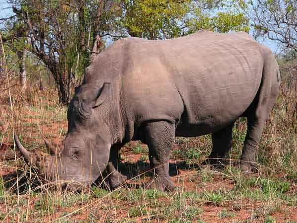 Species Success: Rhinos Recover [LiveScience 2008-02-04]; Image ONLY