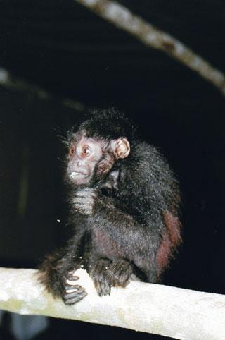 New monkey species is already endangered [NewScientist 2008-01-22]; Image ONLY