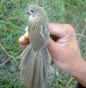 New species of bird found in Koshi Tappu [NepalNews 2008-02-04]; Image ONLY