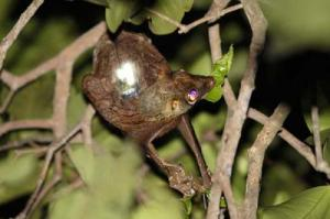 Accelerometer Backpacks Aid Study Of Gliding Behavior In The 'Flying' Lemur [ScienceDaily 2008-02-07]; Image ONLY