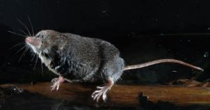 Slow-motion Video Study Shows Shrews Are Highly Sophisticated Predators [ScienceDaily 2008-02-07]; Image ONLY