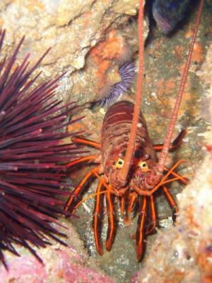California Spiny Lobsters To Be Monitored By Fishermen And Scientists [ScienceDaily 2008-02-12]; Image ONLY