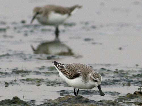 Rare Sandpiper Wintering Site Found [LiveScience 2008-02-14]; Image ONLY