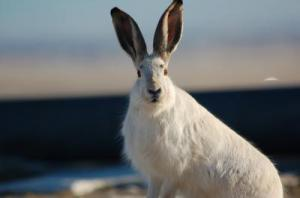 Hare-less: Yellowstone's Rabbits Have Vanished, Study Says [ScienceDaily 2008-02-14]; Image ONLY
