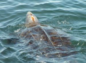 Leatherback Sea Turtles Followed On 12,700 Mile Migratory Journey Across The Pacific [ScienceDaily 2008-02-14]; Image ONLY