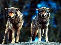 Grey wolf 'no longer endangered' [BBC 2008-02-21]; Image ONLY