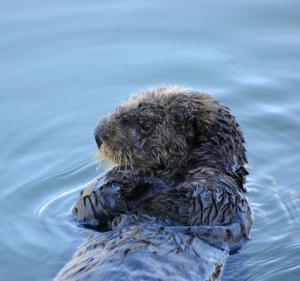 Is That Sea Otter Stealing Your Lunch -- Or Making It? [ScienceDaily 2008-02-21]; Image ONLY