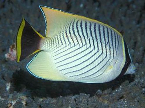 Butterfly Fish 'May Face Extinction' [ScienceDaily 2008-02-25]; Image ONLY