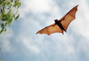 Bats Use Magnetic Substance As Internal Compass To Help Them Navigate [ScienceDaily 2008-02-27]; Image ONLY