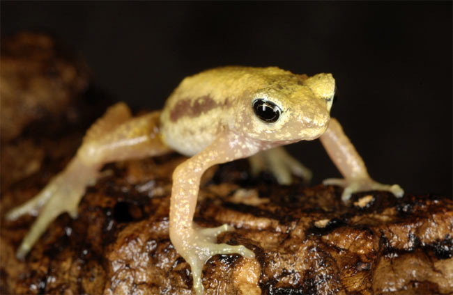 Amphibian Ark to Protect Funky Frogs [LiveScience 2008-02-27]; Image ONLY