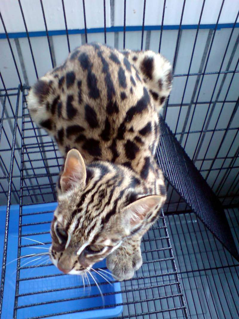 Prionailurus Bengalensis Chinensis[Chinese Leopard Cat]; DISPLAY FULL IMAGE.
