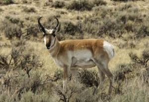 Are Wolves The Pronghorn's Best Friend? [ScienceDaily 2008-03-03]; Image ONLY