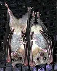 Bat births surprise park keepers [BBC 2008-03-02]; Image ONLY