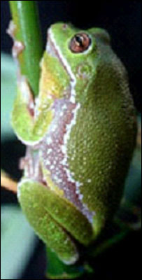 Frog skin diabetes treatment hope [BBC 2008-03-03]; Image ONLY