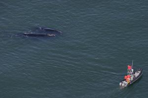 Northern Right Whales Head South To Give Birth, Leave Genetic 'Fingerprints' With NOAA Researchers [ScienceDaily 2008-03-05]; Image ONLY