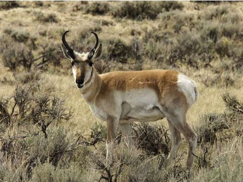 Wolves are the Pronghorn's Best Friend [LiveScience 2008-03-04]; Image ONLY