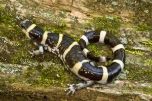 Amphibians Respond Behaviorally To Impact Of Clear Cutting [ScienceDaily 2008-03-11]; Image ONLY