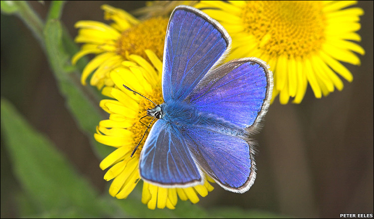 Common Blue Butterfly [BBC 2008-03-11]; Image ONLY