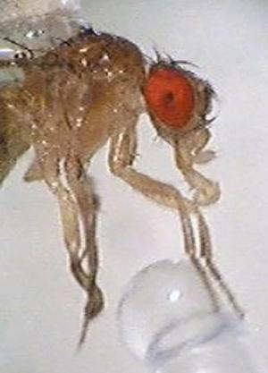 Like Sweets? You're More Like A Fruit Fly Than You Think [ScienceDaily 2008-03-19]; Image ONLY