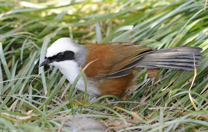 White-crested Laughingthrush (Garrulax leucolophus)01; DISPLAY FULL IMAGE.