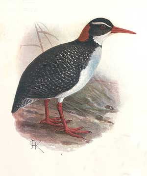 Tahitian Red-billed Rail (Gallirallus pacificus) - Wiki; Image ONLY