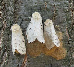 Gypsy Moth Management Made More Efficient, Cost-effective [ScienceDaily 2008-04-07]; Image ONLY