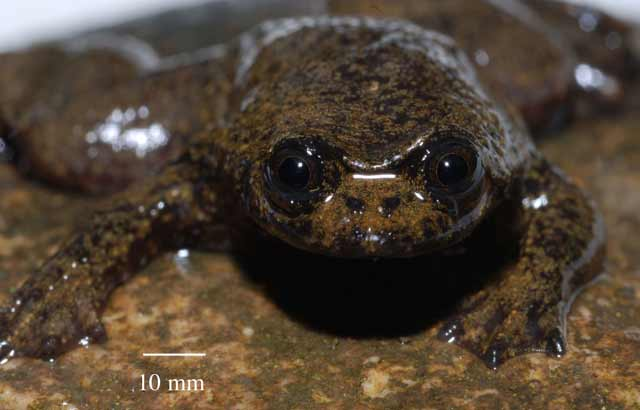 Bizarre Frog Has No Lungs [LiveScience 2008-04-07]; Image ONLY
