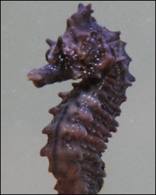 Rare seahorses breeding in Thames [BBC 2008-04-07]; Image ONLY