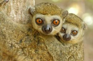 Massive Study Of Madagascar Wildlife Leads To New Conservation Roadmap [ScienceDaily 2008-04-11]; Image ONLY