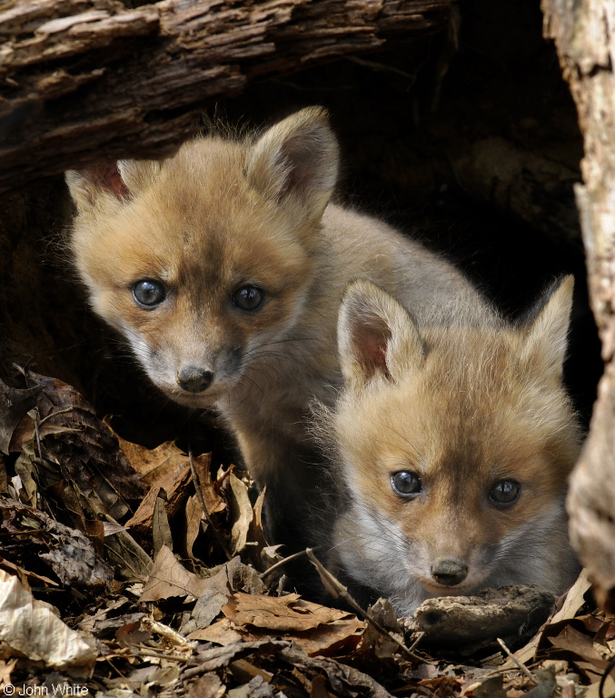 Red Fox (Vulpes vulpes) pups; Image ONLY