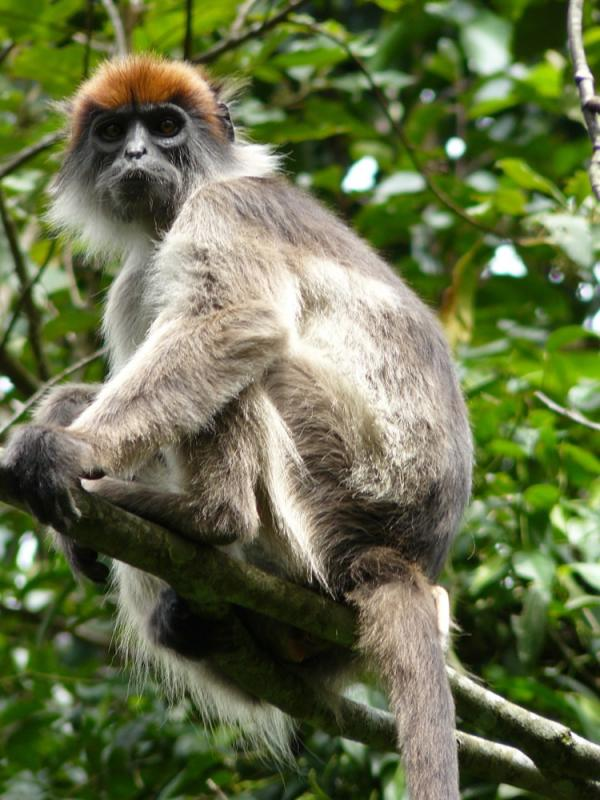 Ugandan Monkeys Harbor Evidence Of Infection With Unknown Poxvirus [ScienceDaily 2008-04-22]; Image ONLY