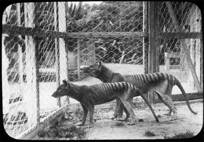 Extinct Tasmanian Tiger's DNA Revived in Mice [LiveScience 2008-05-19]; Image ONLY