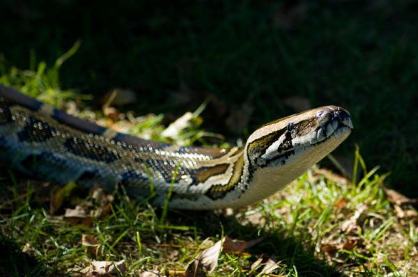 Invasion Of Gigantic Burmese Pythons In South Florida Appears To Be Rapidly Expanding [ScienceDaily 2008-05-22]; Image ONLY
