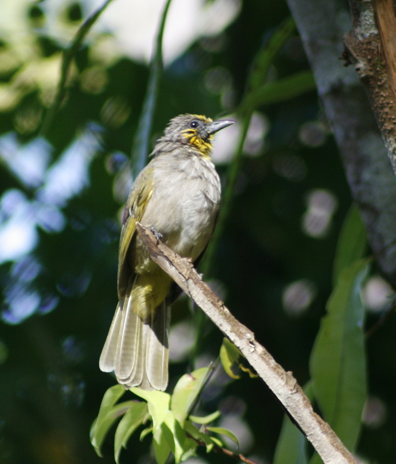 stripe-trhoated bulbul (pycnonotus finlaysoni); DISPLAY FULL IMAGE.